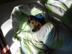 Jack Russell in a Duvet