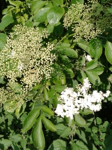 Elderflower and buds