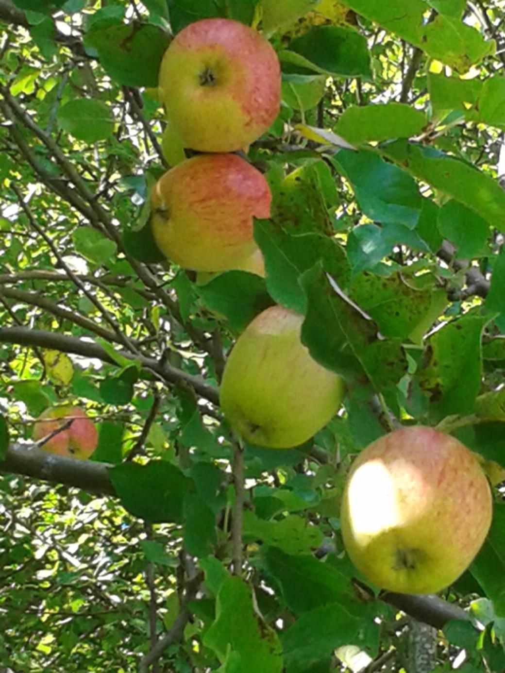 Inedible Apples